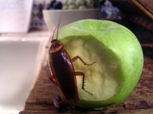 Cockroach with apple
